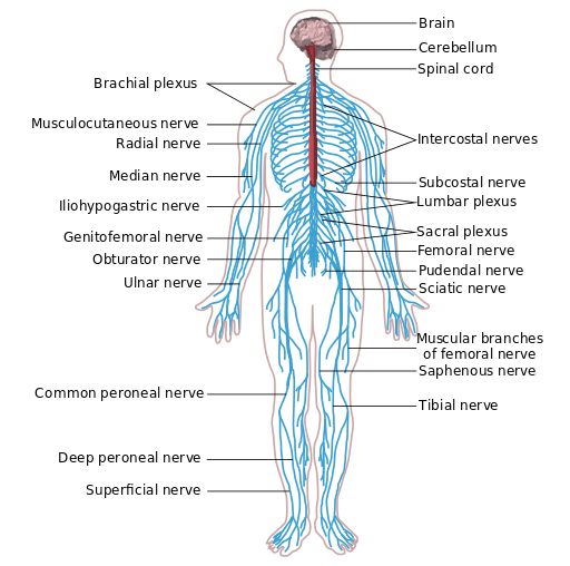 Pressure points taekwondo preschool the nervous system ccuart Images